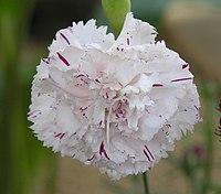 康乃馨(香石竹) Dianthus caryophyllus -香港花展 Hong Kong Flower Show- (9229875484).jpg