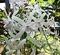 白花錫葉藤 Petrea volubilis 'Albiflora' -日本大阪鮮花競放館 Osaka Sakuya Konohana Kan, Japan- (9240254184).jpg
