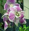 石斛蘭-瑪拉度公主變種 Dendrobium hybrid -香港沙田洋蘭展 Shatin Orchid Show, Hong Kong- (30638203694).jpg