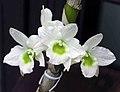 石斛蘭 Dendrobium Spring Dream 'Apollon' -香港公園 Hong Kong Park- (9226996659).jpg