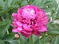 芍藥-富貴紅 Paeonia lactiflora 'Wealthy Red' -上海植物園 Shanghai Botanical Garden- (12380140835).jpg