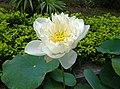 荷花-重台白蓮型 Nelumbo nucifera Double-chamber-series -澳門龍環葡韻 Macau Lotus Show, China- (16378949453).jpg