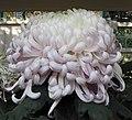 菊花-月艷 Chrysanthemum morifolium 'Moon Beauty' -香港圓玄學院 Hong Kong Yuen Yuen Institute- (11961466403).jpg