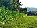 菸田 Tobacco Field - panoramio.jpg