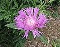 軟毛矢車菊 Centaurea dealbata -巴黎植物園 Jardin des Plantes, Paris- (9193447078).jpg