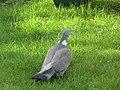 -2019-02-12 Wood pigeon (Columba palumbus), Trimingham (1).JPG