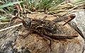 .Acinipe hesperica. Pamphagidae. Female - Flickr - gailhampshire.jpg