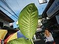 0546La Suerte lucky plant in the Philippines 10.jpg