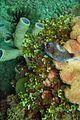 10-EastTimor-Dive Dirt-Track 28 (Puffer Fish)-APiazza.jpg
