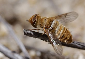 Bombyliidae - A 4mm long female of Lepidanthrax in Cuyama Valley, California, showing the proportionally shorter wings and relatively larger head occurring in many of the smaller species in the family