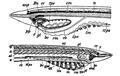 1911 Britannica - Pelagic larvae of A. lanceolatus.png