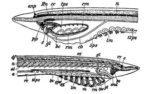 1911 encyclopdia britannicaamphioxus wikisource the free fig 6anterior region of two pelagic larvae of a lanceolatus obtained by the tow net in 8 10 fathoms showing the asymmetry of the large lateral ccuart Choice Image