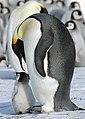 2007 Snow-Hill-Island Luyten-De-Hauwere-Emperor-Penguin-26.jpg