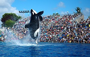 A killer whale with a collapsed dorsal fin breaching out of a pool in front of an audience in stands
