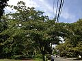 2013-08-26 14 21 45 Mimosa viewed from the south on Pennington Road near Stuart Avenue in Ewing, New Jersey.jpg