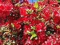 2014-05-17 10 24 07 Red-flowered Azaleas in front of an old house on Spruce Street (Mercer County Route 613) in Ewing, New Jersey.JPG