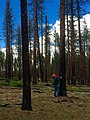 2016. Forest Health staff evaluate tree mortality and western pine beetle activity following a prescribed fire in the Pringle Falls Expermental Forest, Deschutes National Forest, Oregon. (26858710757).jpg