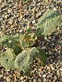 20160919Verbascum thapsus3.jpg
