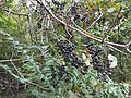 2017-09-14 18 14 14 Wild grapes ripening on the vine along Stone Heather Drive in the Franklin Farm section of Oak Hill, Fairfax County, Virginia.jpg