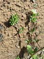 20170412Arenaria serpyllifolia2.jpg