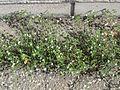 20170424Arenaria serpyllifolia13.jpg
