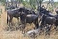 2017 Wildebeest migration Kenya 06.jpg