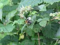 2018-06-01 (111) Rubus idaeus (raspberry) and insect at Bichlhäusl in Frankenfels, Austria.jpg