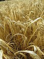 2018-08-12 Ripe Wheat, Paston way footpath, Gimingham (1).JPG
