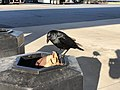 2020-04-19 08 01 04 Large black bird on a waste container at the Delaware House Service Area along Interstate 95 (Delaware Turnpike) in New Castle County, Delaware.jpg