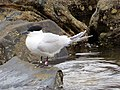 2020-07-18 Thalasseus sandvicensis, St Marys Island, Northumberland 07.jpg