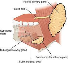2408 Salivary Glands.jpg