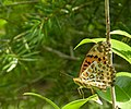 294黑端豹斑蝶6(游釗敏攝) (12943915525).jpg