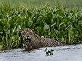 4987 Pantanal jaguar JF.jpg