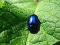 5804 - Schynige Platte - Coleoptera.JPG