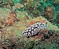 62709Tioman - 27 Phyllidia crawling M (3688482207).jpg