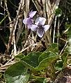7927-Viola palustris-Malá Studniční jáma-05.18.jpg