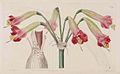 809 Phycella cyrtanthoides.jpg
