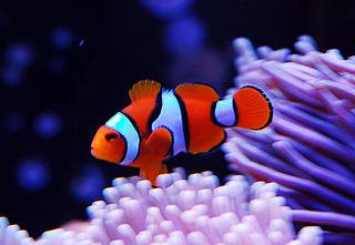 Orange clownfish species of fish