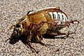 A607, dead insect, Great Sand Dunes National Park, Colorado, United States, 2008.jpg