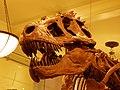 AMNH 5027 Tyrannosaurus skull cast.jpg