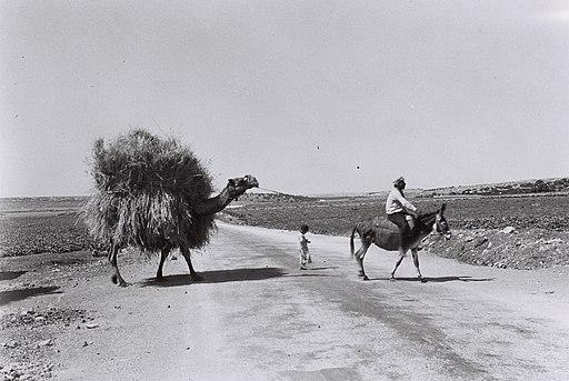 AN ARAB FARMER TAKING STRAW TO HIS FARM. חקלאי ערבי רכוב על חמור מוביל על גבי הגמל קש.D813-124