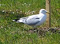A Herring Gull - geograph.org.uk - 1327526.jpg