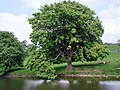 A Horse Chestnut by the bridge, Hebden - geograph.org.uk - 820102.jpg