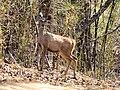 A Sambhar deer at Kisli.jpg