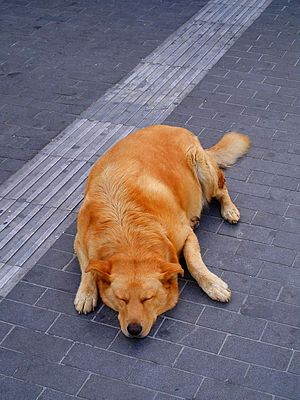 A dog resting in the Iraklion street, Greece.jpg