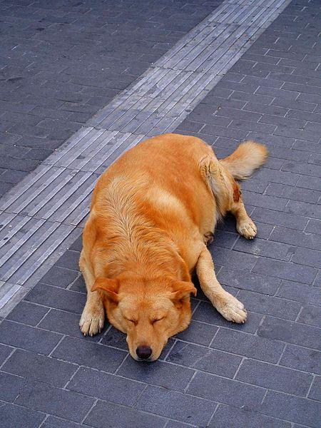 A dog resting in the Iraklion street, Greece.jpg