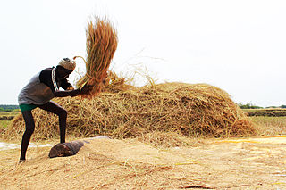 Threshing Process of loosening the edible part of cereal grain from the scaly, inedible chaff that surrounds it
