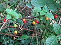 A garland of ripening berries - Black Bryony (Tamus communis) - geograph.org.uk - 571211.jpg