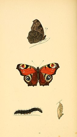 A history of British butterflies BHL14821221.jpg