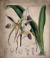 A lady's slipper orchid (Cypripedium species); flowering pla Wellcome V0044386.jpg